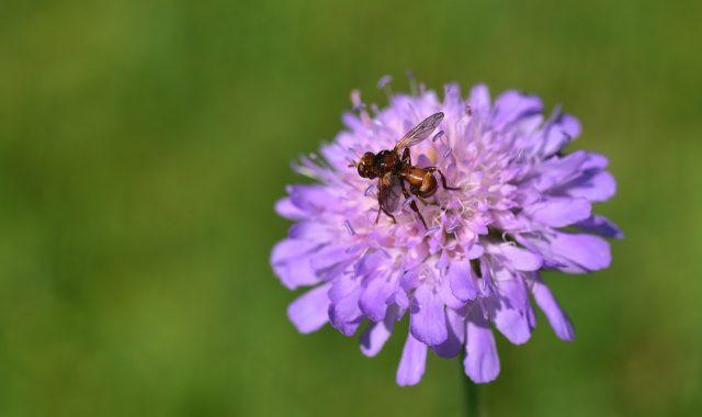 La fourmi volante pendant sa période d'accouplement